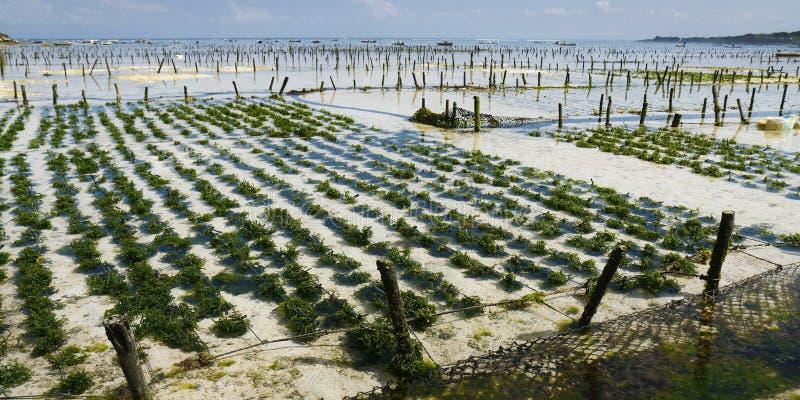海杂草在下面水种植园 图库摄影