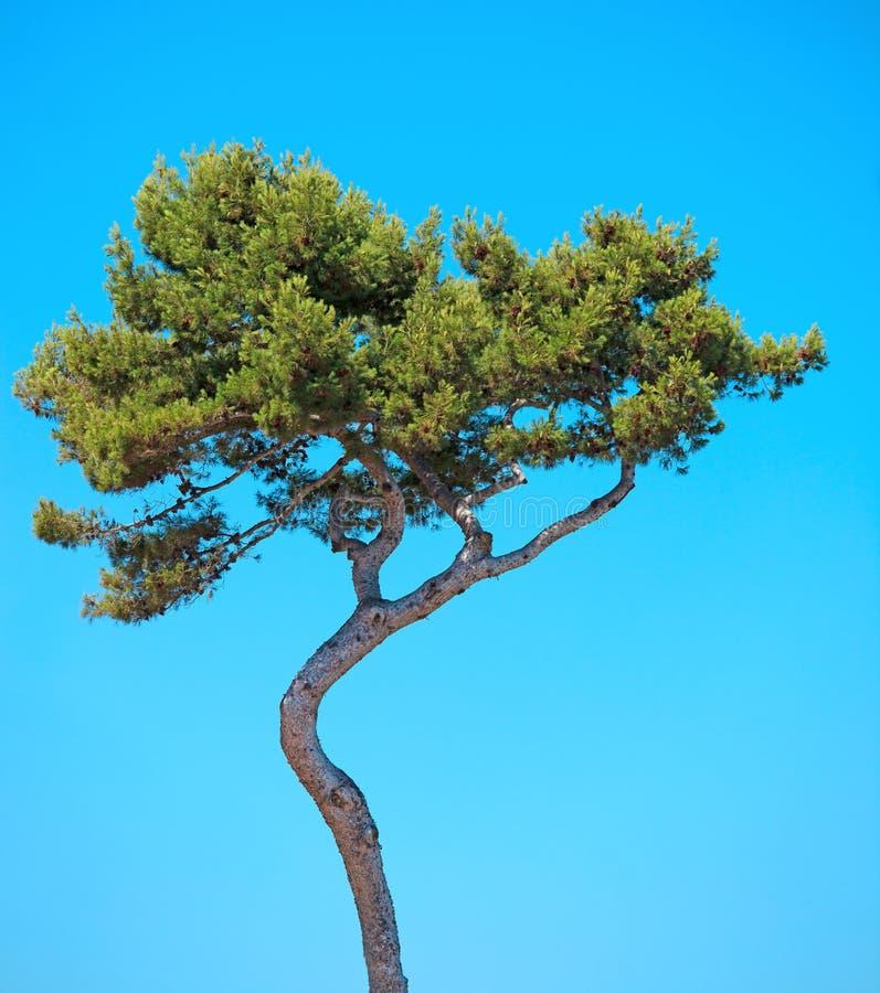 海杉木在蓝天的弯曲的结构树。 普罗旺斯 免版税库存图片