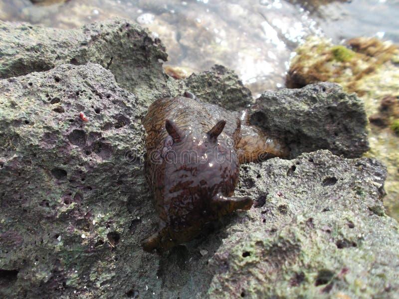 海洋乌龟海岛巧克力精炼机海洋软体动物在沿海水域海滩破火山口/委内瑞拉 免版税库存图片