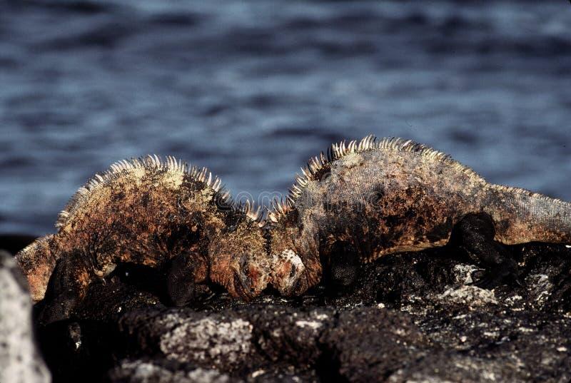 海洋战斗的鬣鳞蜥 免版税库存图片