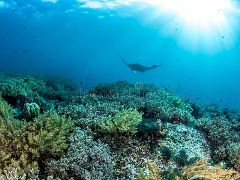 海洋披巾,王侯Ampat,印度尼西亚 免版税图库摄影