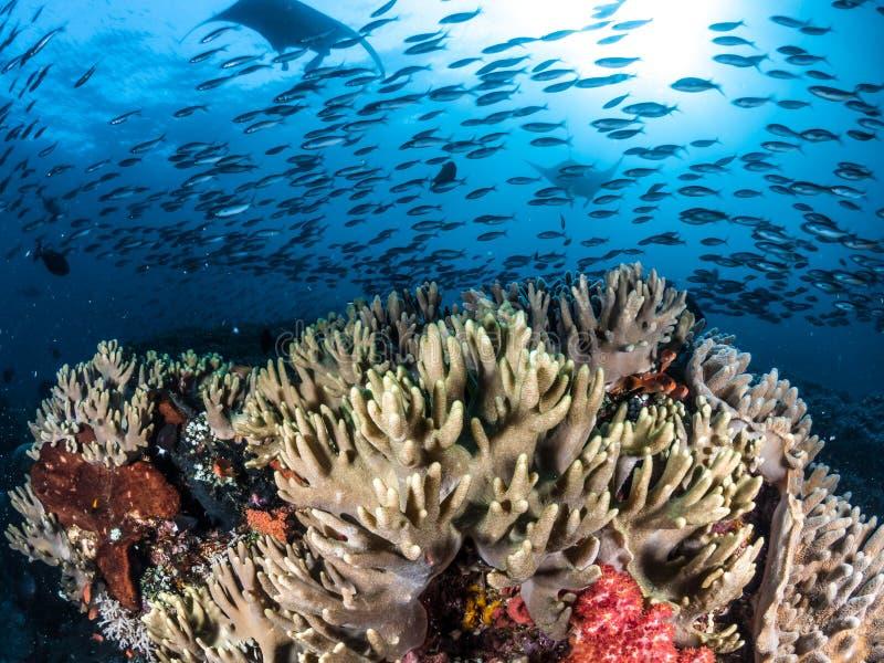 海洋披巾,王侯Ampat,印度尼西亚 库存照片