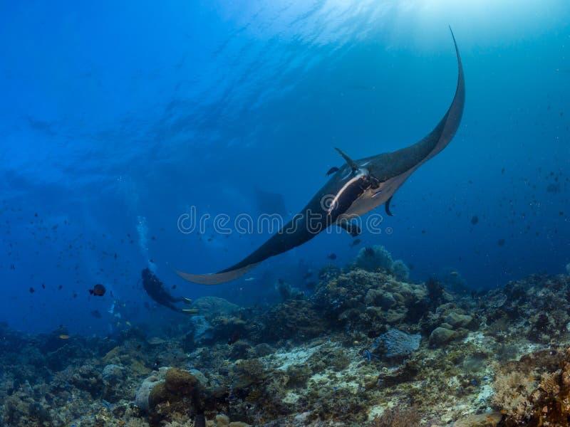 海洋披巾,王侯Ampat,印度尼西亚 免版税库存照片