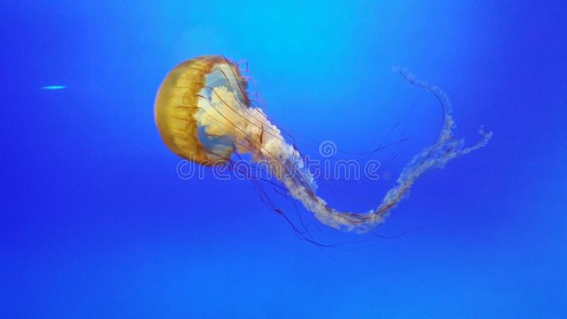 海洋水母 免版税库存照片