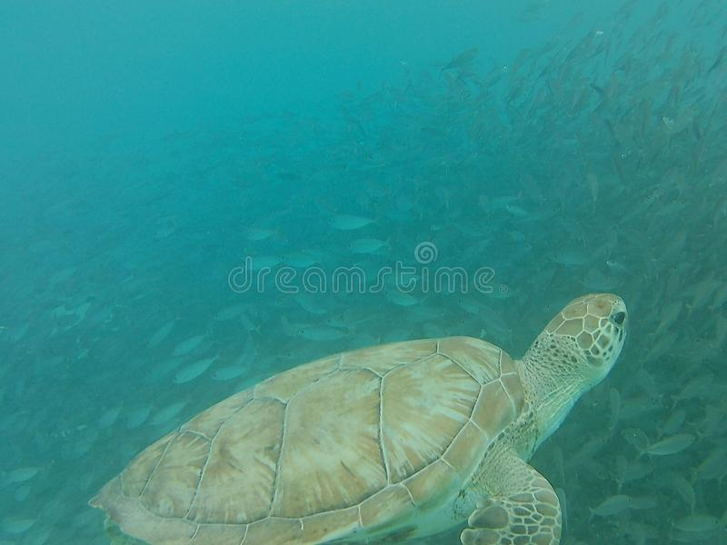 海洋生物在加勒比的水中 免版税库存图片