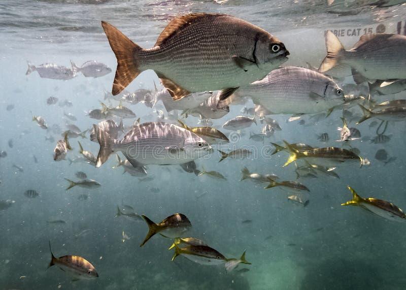 海洋生物在古巴海岸的大西洋 免版税图库摄影