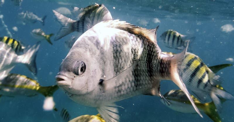 海洋生物在古巴海岸的大西洋 免版税库存照片