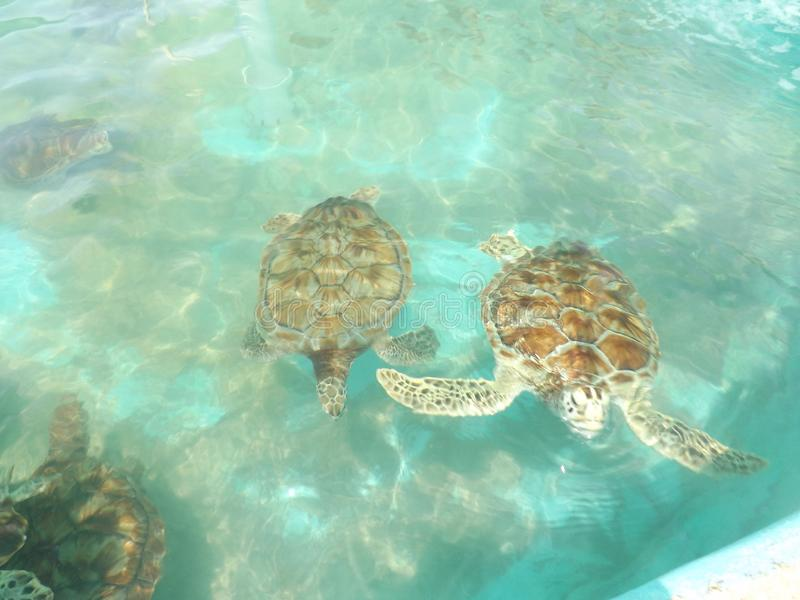 海洋生物墨西哥珊瑚礁乌龟 免版税库存图片