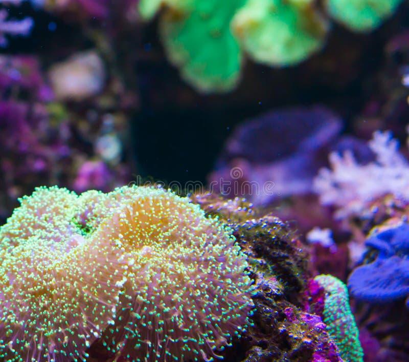 海洋生物背景在岩石的巨型加勒比海银莲花属 库存图片