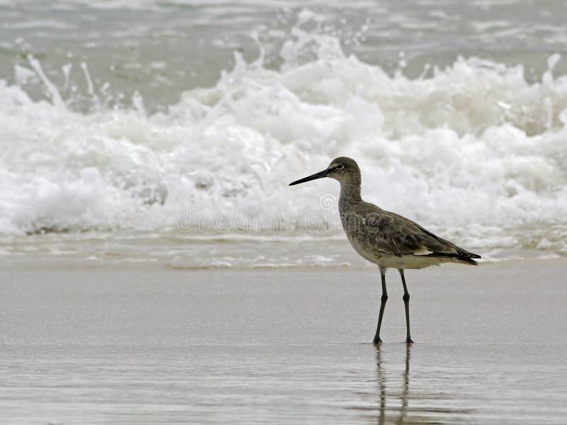 海洋矶鹞海浪类型趟过willet 免版税库存图片