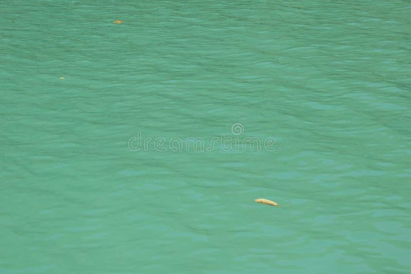 海洋鲜绿色的蓝色表面有唯一浮动叶子的 库存照片