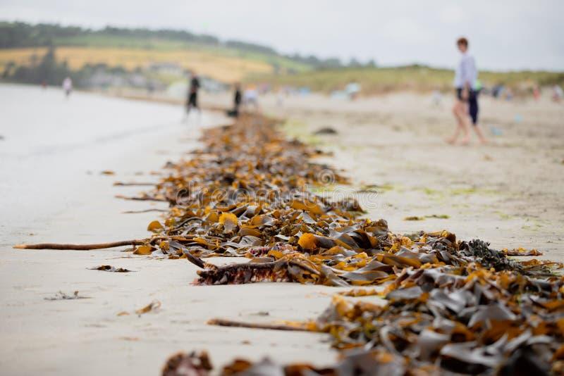 海海藻一条不尽的线被洗涤岸在大浪以后在Inchydoney海滩 免版税库存图片