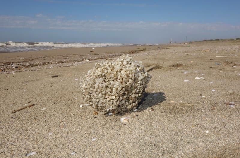 Download 海海绵 库存照片. 图片 包括有 敌意, 意大利, 自然, 海绵, 海运, 火箭筒, 海岸, 地中海 - 62538882