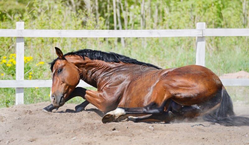 海湾公马在沙子滚 免版税库存图片