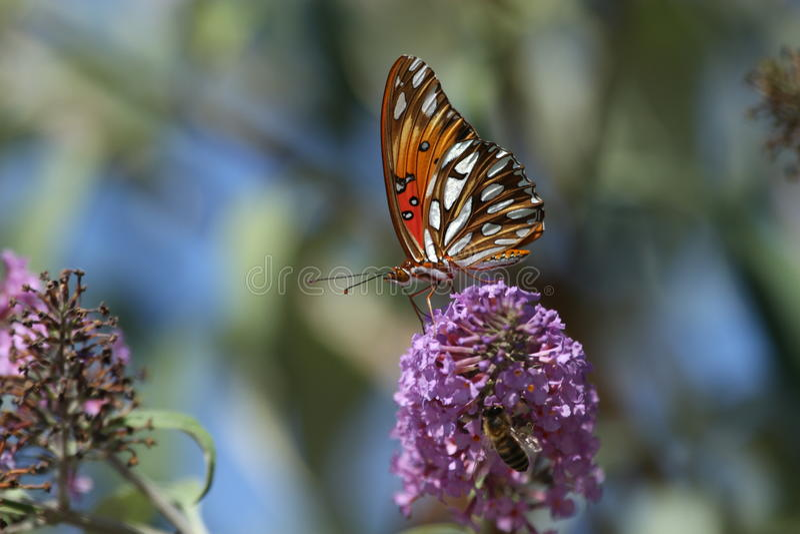 海湾在花的贝母蝴蝶 免版税库存照片