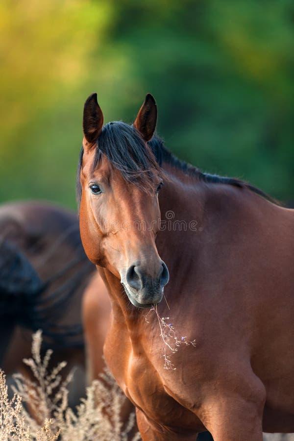 海湾室外母马的画象 免版税库存照片