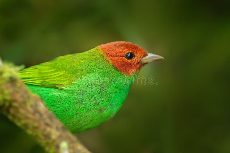 海湾带头的唐纳雀, Tangara gyrola toddi,与红色头,圣玛尔塔,哥伦比亚的异乎寻常的热带蓝色唐纳雀 蓝色和绿色歌手 免版税图库摄影