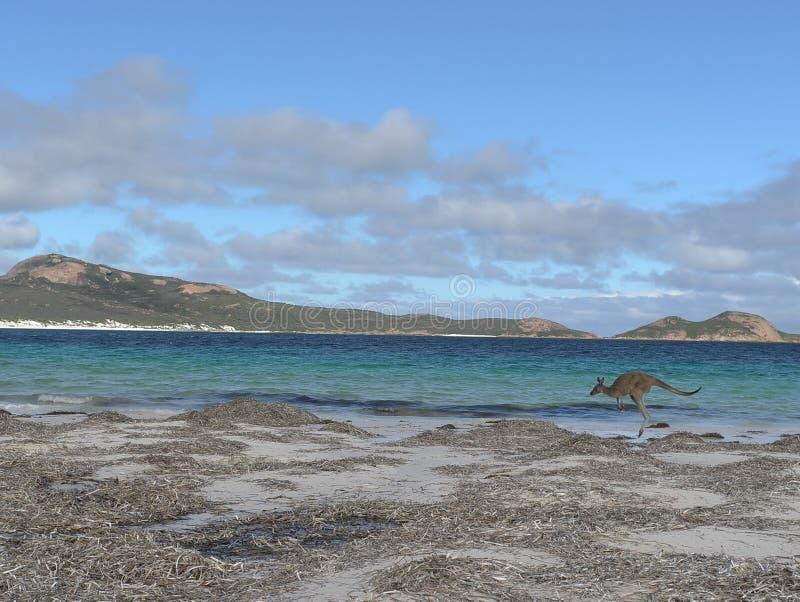 海湾幸运海滩的袋鼠 图库摄影