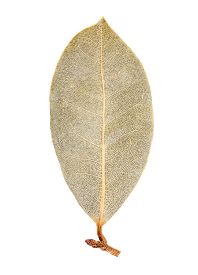 Download 海湾查出的叶子 库存照片. 图片 包括有 空白, 背包, 健康, 烘干, 月桂树, 查出, 绿色, 干燥 - 72361558