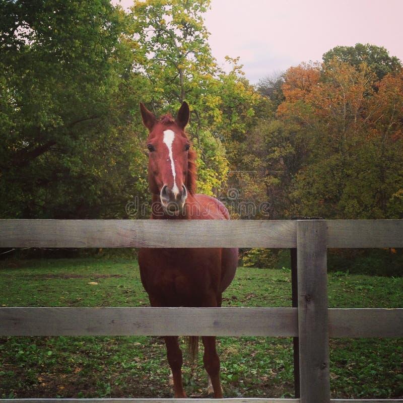 海湾母马支持的篱芭 库存照片