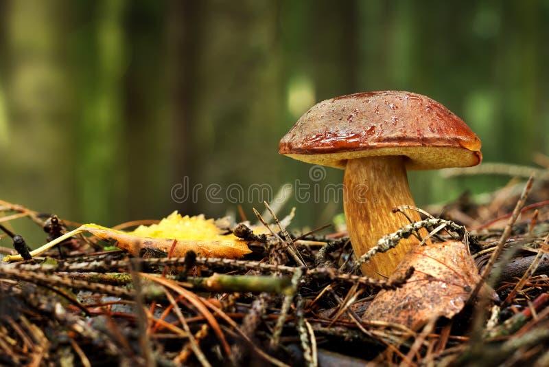 海湾牛肝菌(牛肝菌蕈类badius, Xerocomus badius) 免版税库存照片