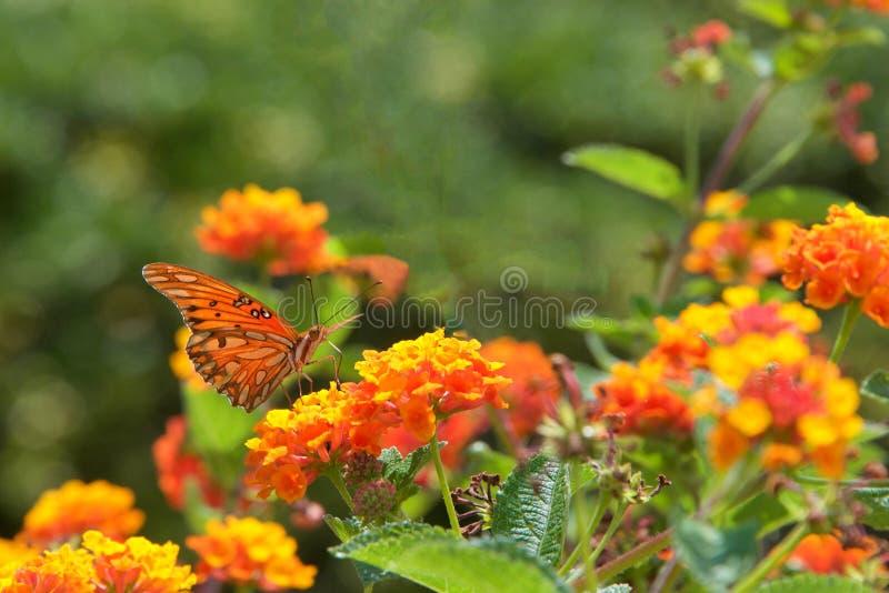 海湾贝母或激情蝴蝶在橙色马樱丹属开花 库存照片