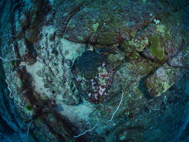 海湾el hawksbill s鲨鱼sharm回教族长被采取的乌龟 免版税库存照片