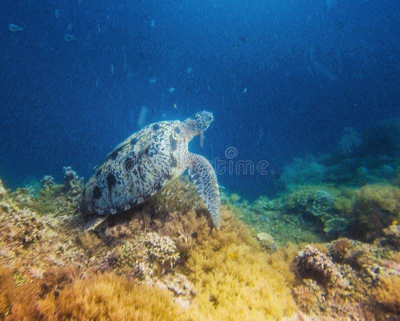 海湾el hawksbill s鲨鱼sharm回教族长被采取的乌龟 库存照片