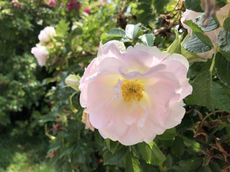 海滩上升了,日本玫瑰,Ramanas上升了,Letchberry罗莎rugosa、Kartoffelrose或者Apfelrose花海岛Mainau 免版税库存图片