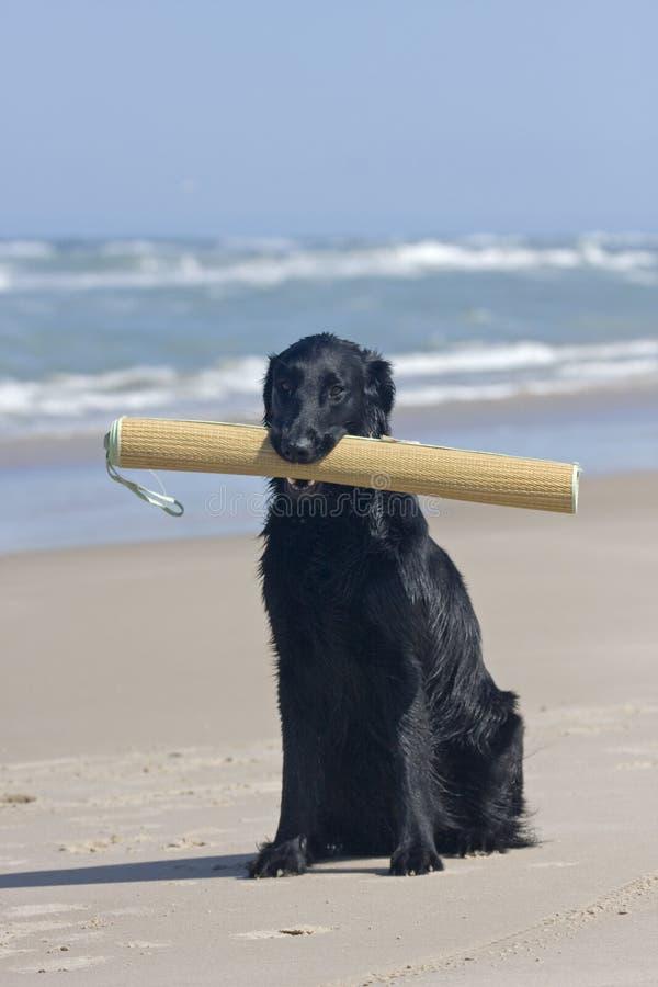海滩上漆的平面的席子猎犬 免版税图库摄影