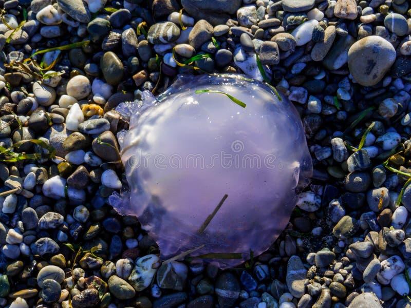 海滩上的果冻鱼 免版税库存图片