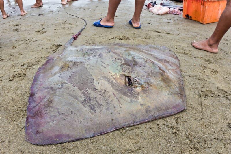 海滩厄瓜多尔longtail黄貂鱼 免版税库存图片