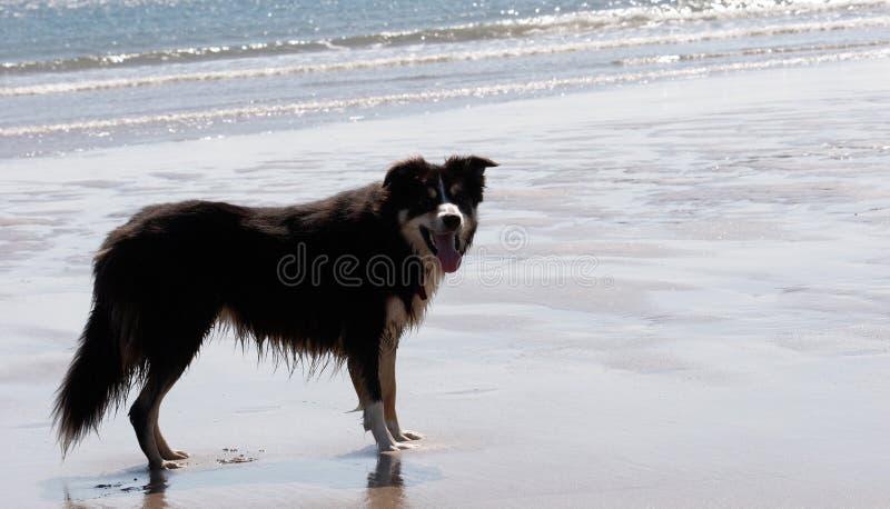海滩含沙的博德牧羊犬 免版税库存图片