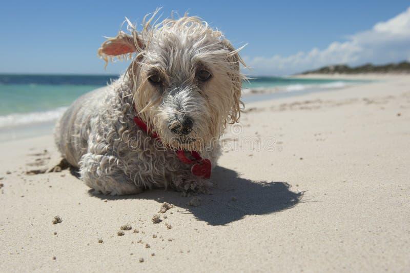 海滩小狗 图库摄影