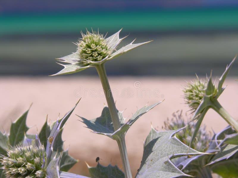 海滩接近的蓟 免版税库存图片
