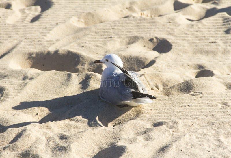 海滩海鸥,澳大利亚 免版税库存照片
