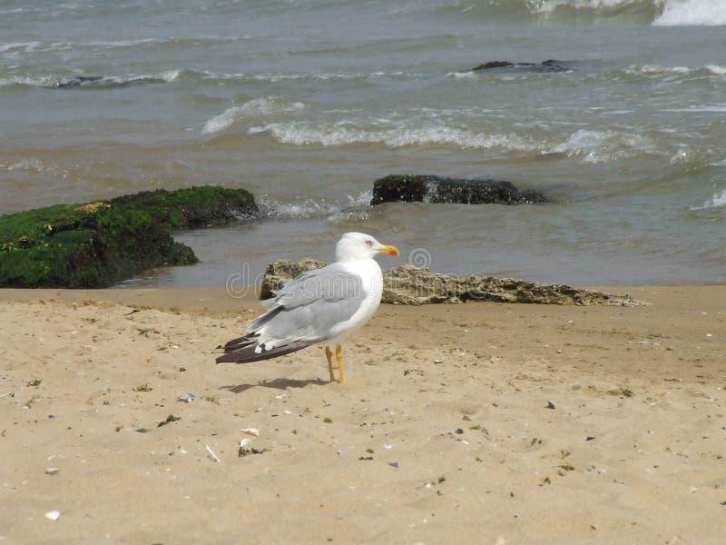 海滩海鸥 免版税库存照片