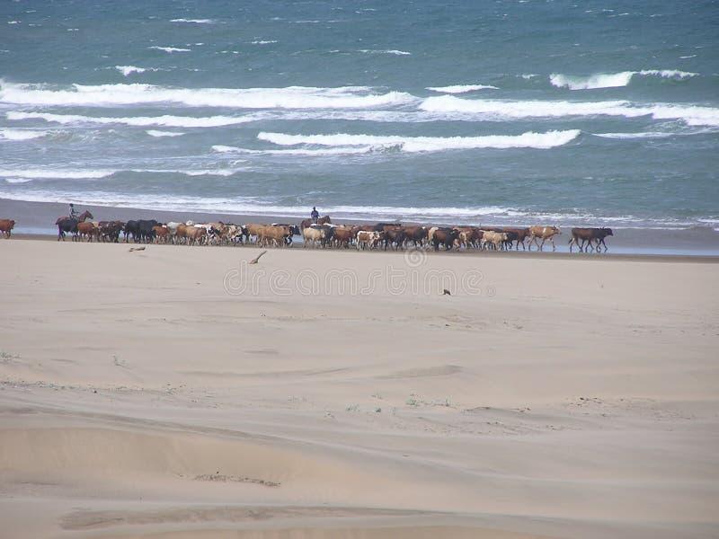 海滩牛 库存图片