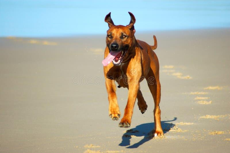 海滩狗运行中 免版税库存图片