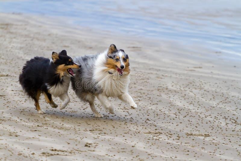 海滩狗运行 库存照片