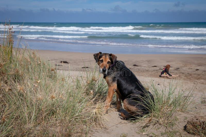 海滩的新西兰Huntaway在太阳在退休的两天从是以后一只全时护羊狗 库存图片