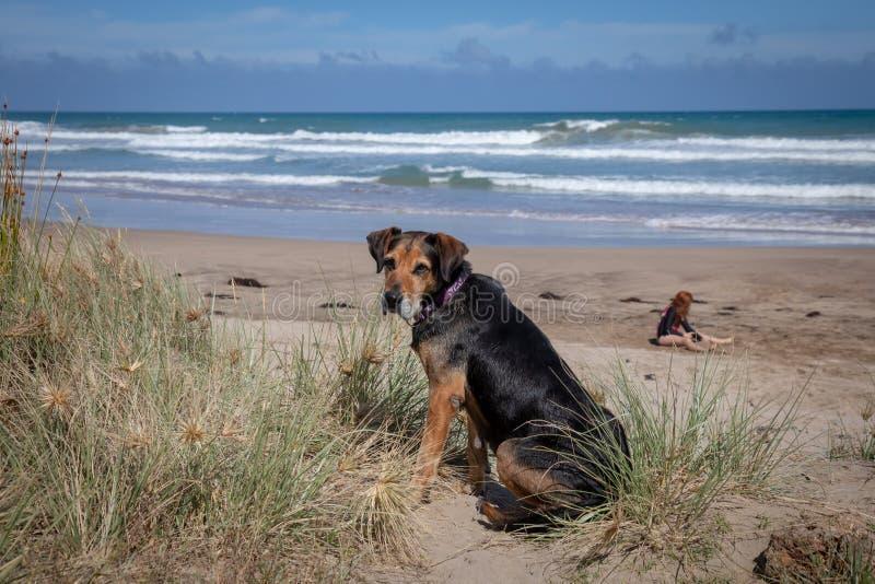 海滩的新西兰Huntaway在太阳在退休的两天从是以后一只全时护羊狗 免版税图库摄影