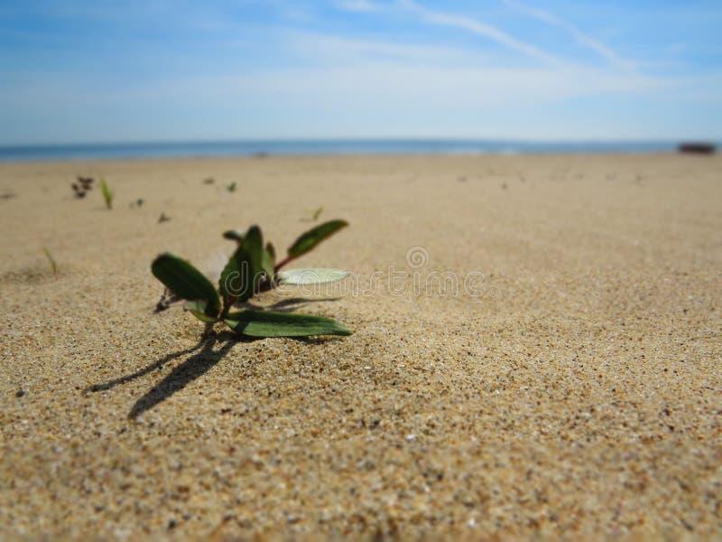 海滩的沙子植物 免版税图库摄影