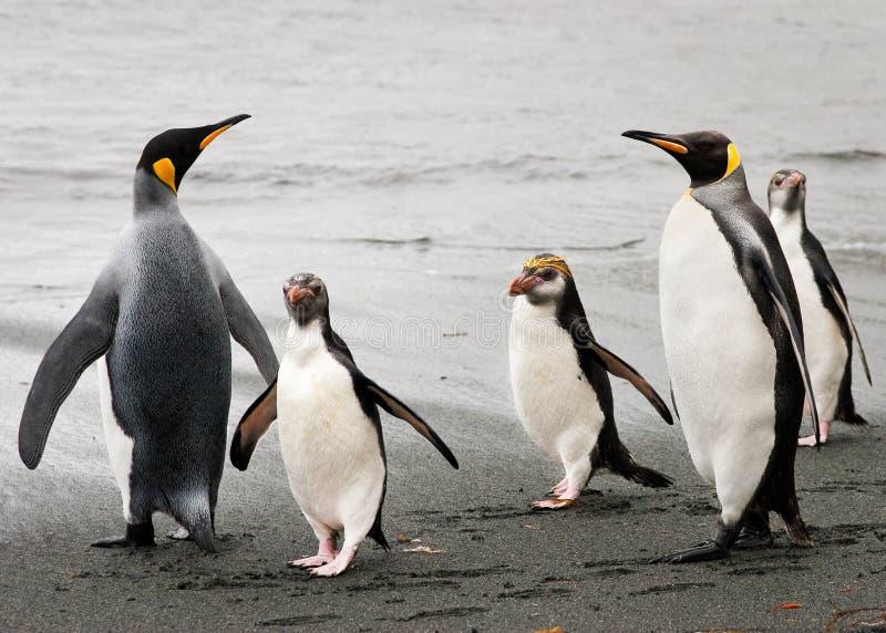 海滩皇家的企鹅国王 免版税库存照片