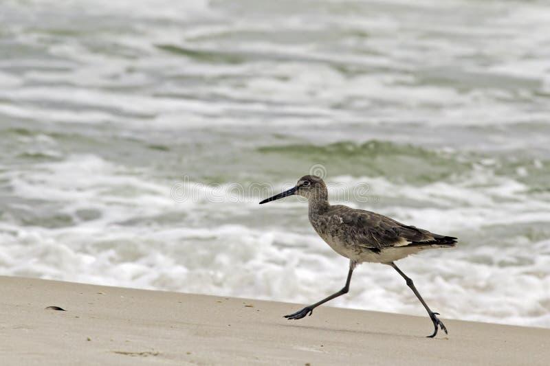 海滩矶鹞类型willet 库存照片