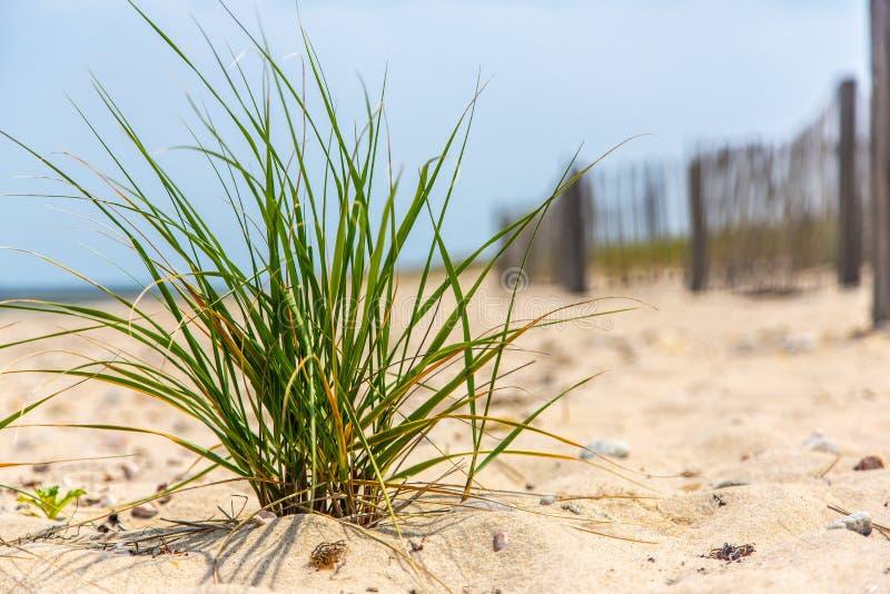 海滩草小一束在篱芭前面的 免版税库存照片