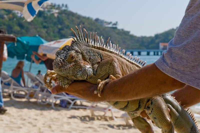 海滩藏品鬣鳞蜥人员 免版税库存照片