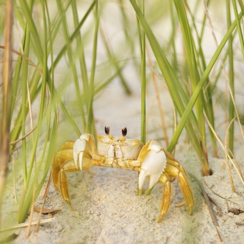 海滩螃蟹鬼魂 免版税库存照片