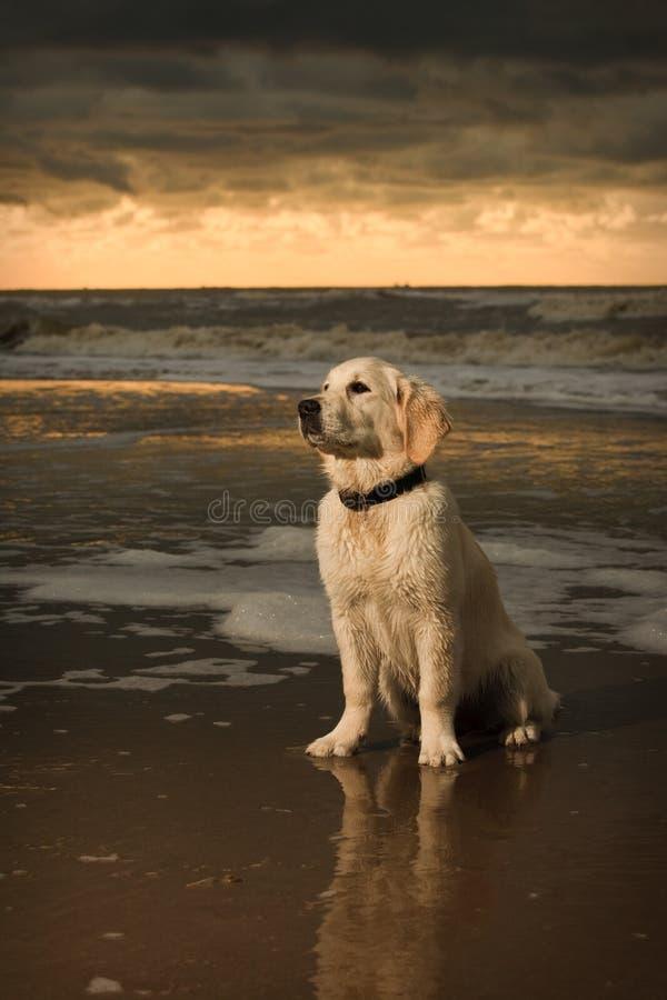 海滩金黄纵向小狗猎犬 免版税库存照片