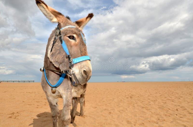 海滩驴 库存图片